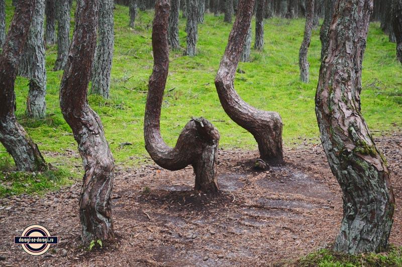 На Куршскую косу самостоятельно. Танцующий лес