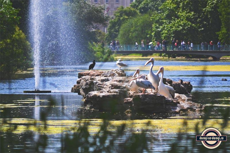 Пеликаны-в-Лондоне