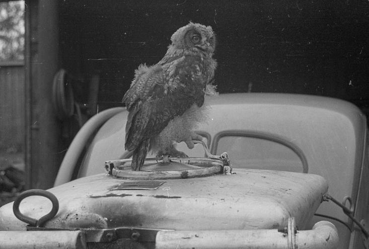 Филин в казарменном гараже Хуухканмяки, 1942 год