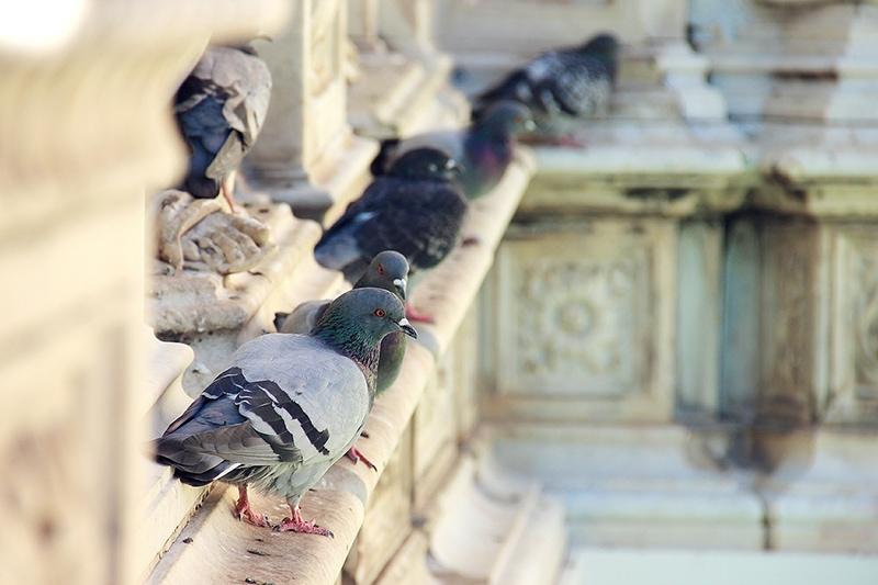 Голуби - главные завсегдатаи итальянских площадей