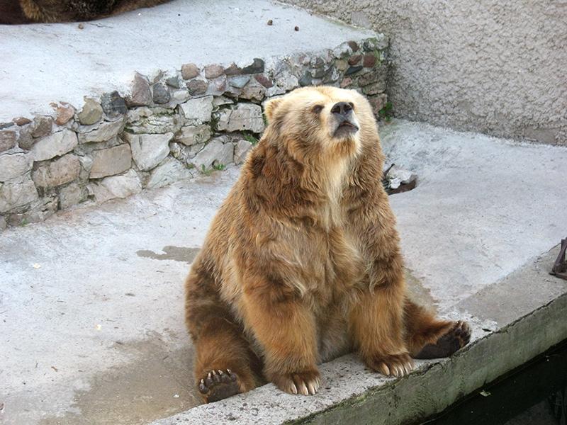 Такой вот забавный позирующий медведь из рижского зоопарка