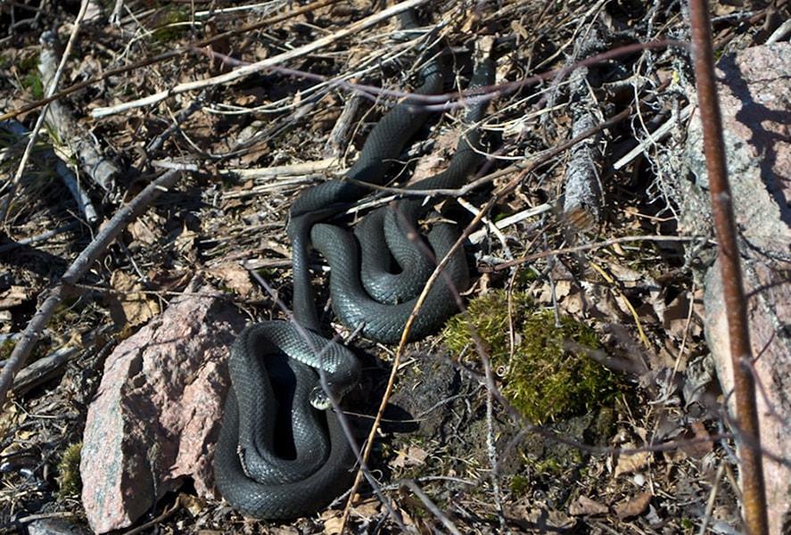 Это фото сделано несколько лет назад на горе Хийденвуори — милые, безобидные ужи