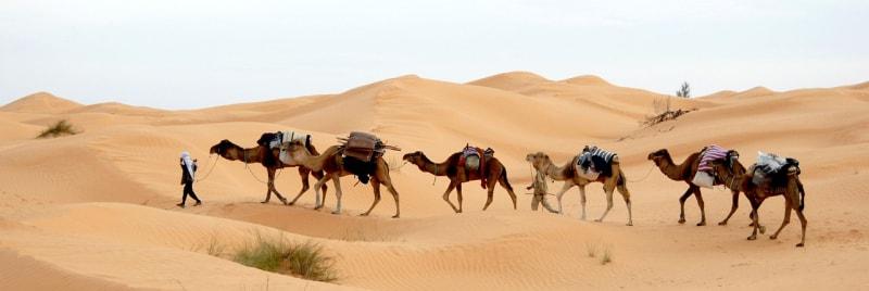 Тунисские верблюды