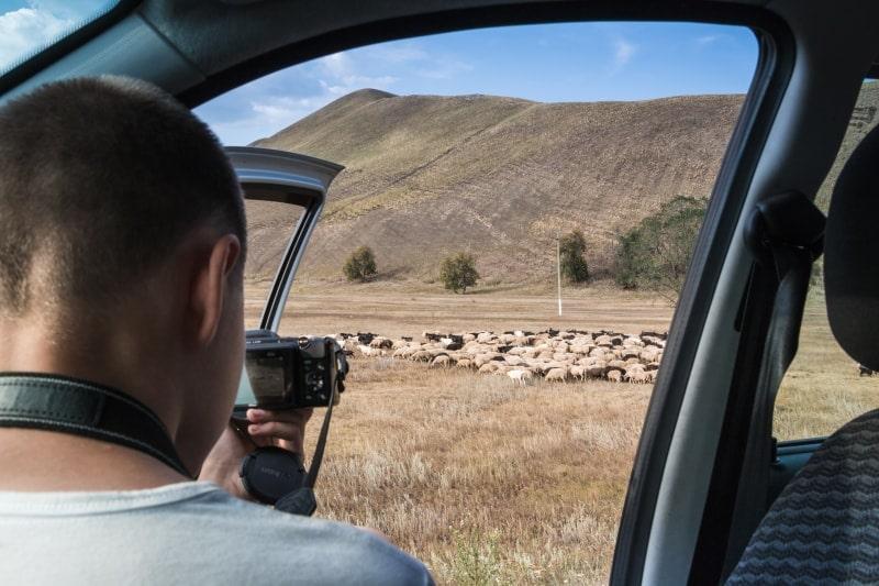 Стадо овец в Оренбургской области