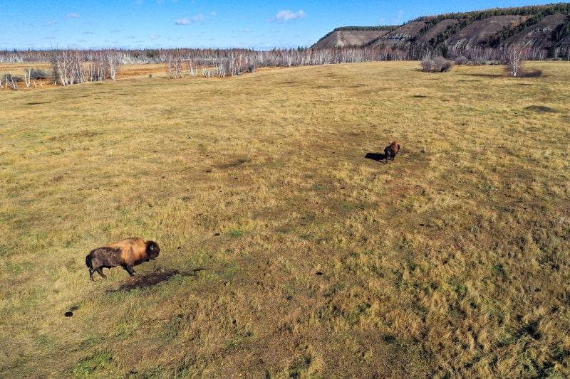 Бизоны в парке Ленские столбы